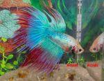 Peixes Bettas No Atacado Para Lembrancinhas De Festa e Aniversários