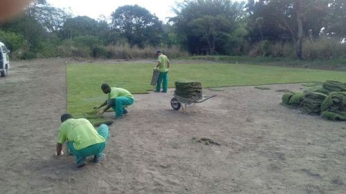 Platium Grass - Grande promoção de grama esmeralda grama são carlos grama bermudas e grama zeon 354305